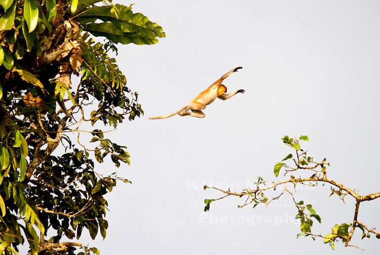 The Proboscis Monkey (Nasalis larvatus) is also known as the Monyet Belanda in Malay, the Bekantan in Indonesian or simply the Long-nosed Monkey. It is a reddish-brown arboreal Old World monkey that is endemic to the south-east Asian island of Borneo.