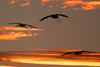 Sandhill Cranes flying in the sunset at Bosque del Apache National Wildlife Refuge, in New Mexico.