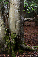 BNPS.co.uk (01202 558833)<br /> Pic: ZacharyCulpin/BNPS<br /> <br /> Pictured: Graffiti of a man dates back 100 years.<br /> <br /> Fascinating ancient graffiti which was carved into the trees of the New Forest centuries ago is being formally recorded for the first time.Initials, dates, pictures, poems and royal marks which vary in size from 4ins to 2ft can be found throughout the national park in Hampshire.There are also various examples on display of concentric circles, known as 'witches marks', which were carved to ward off evil spirits.In total, hundreds of examples of 'tree graffiti' are being documented in a new database set up by the New Forest National Park Authority.