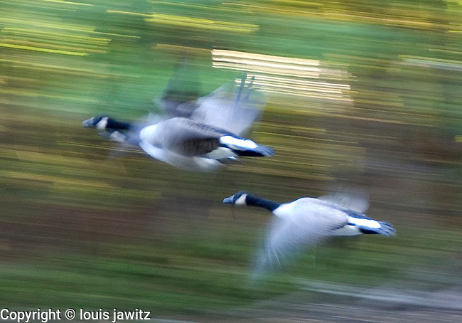ducks in flight with motion ny n.y. abstract,