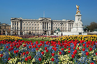 Great Britain, England, London: Buckingham Palace and the Queen Victoria Memorial with Spring Tulips