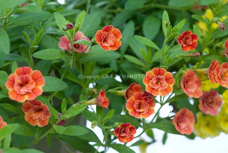calibrachoa minifamous double orange  plant  flower stock, Beautiful flower
