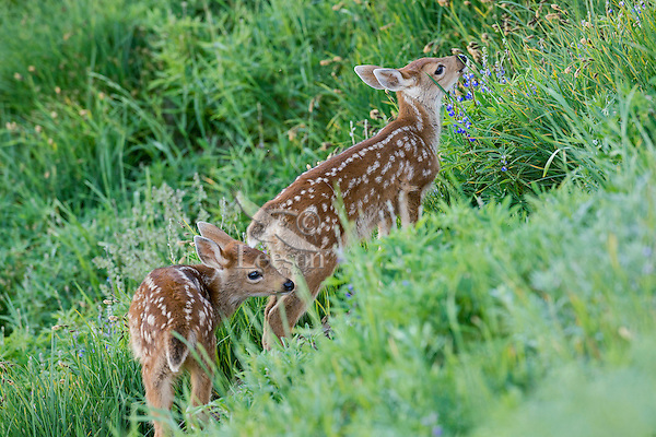 Two young Columbian black-tailed deer (Odocoileus hemionus columbianus) fawns exploring meadow.  Pacific Northwest.  Summer.