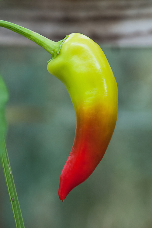 Pepper 'Hot Banana', mid September. A long, sweet pepper with a mild heat. Fruit matures from light yellow to orange to red.