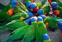 Rainbow Lorikeets, Hamilton Island, Australia