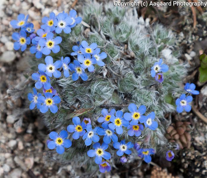 Alpine forget-me-not, Longs Peak Trail, Rocky Mountain National Park