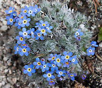 Alpine forget-me-not, Longs Peak Trail, Rocky Mountain National Park