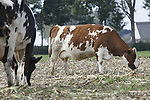 Foto: VidiPhoto<br /> <br /> ELST (GLD) &ndash; Je kunt mais naar de koe brengen, maar andersom ook koeien naar de mais. Melkveehouder Nico Derksen uit het Gelderse Elst deed dat maandag. Omdat zeker de helft van zijn maisareaal tijdens de storm van anderhalve week geleden tegen de vlakte ging, bleven er tijdens het hakselen veel stengels en kolven achter op de akkers. Om te voorkomen dat het kostbare veevoer verloren gaat, stuurde Derksen maandag zijn 50 melkkoeien het veld in om de restanten op te peuzelen. De dames genoten zichtbaar van het onverwachte buffet.