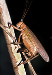 Bush Cricket, Orthoptera, Laying Eggs, Belize, Central America