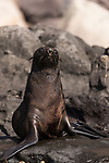 Guadalupe Island, Baja California, Mexico; a Guadalupe fur seal warming itself on the rocks in early morning sunlight