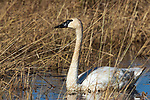 Trumpeter swan swimming in Phantom Lake at Crex Meadows Wildlife Area.