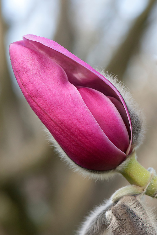 Magnolia 'Eric Savill', a seedling of Magnolia sprengeri 'Diva', planted in The Savill Garden in 1958.