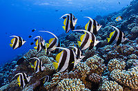 WA1473-D. Longfin Bannerfish (Heniochus acuminatus), singly or in pairs, sometimes in schools, along outer reef slopes down to 250 feet, ranges from East Africa to French Polynesia, size to 10 inches, feeds on zooplankton, can act as a cleaner fish. French Polynesia, Pacific Ocean.<br /> Photo Copyright &copy; Brandon Cole. All rights reserved worldwide.  www.brandoncole.com