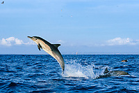 long-beaked common dolphins, Delphinus capensis (formerly lumped with short-beaked common dolphin, Delphinus delphis), jumping out of the water, off San Diego, California, USA, (Eastern Pacific Ocean)