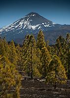 Pine trees and Mount Teide in Parque nacional de las Cañadas,Tenerife, Canary Islands, Spain