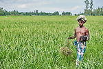 A man walks through a rice field in Kunderpara, a village on an island in the Brahmaputra River in northern Bangladesh.