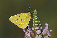 Orange Sulphur (Colias eurytheme), dew covered male perched on Rattlesnake flower (Brazoria truncata), Fennessey Ranch, Refugio, Coastal Bend, Texas, USA