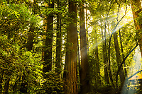 The sun streams through the giant redwood trees at Jedediah Smith State Park campground.