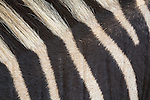 Plains zebra (Equua quagga burchelli) stripe pattern detail,  South Africa, October 2014