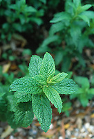 Mentha x piperata peppermint herb