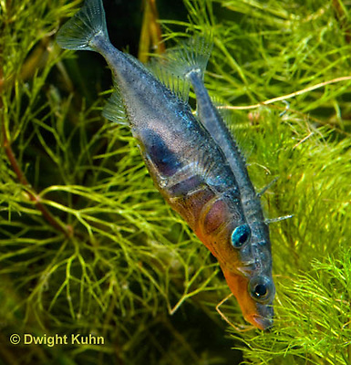 1S17-631z Male Threespine Sticklebacks defending territories, Mating colors showing bright red belly and blue eyes,  Gasterosteus aculeatus,  Hotel Lake British Columbia