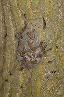 Eichen-Prozessionsspinner, Eichen - Prozessionsspinner, Eichenprozessionsspinner, Raupe, Raupen, Gespinstnest, Gespinstsack am Stamm einer Eiche, die Raupen beginnen sich zu verpuppen, Thaumetopoea processionea, oak processionary moth