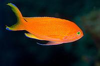 Orange female of the square spot fairy basslet / anthias (Pseudanthias pleurotaenia) , Baudissom bay, Kavieng, Bismarck sea, Pacific ocean, Papua New Guinea, Asia