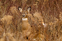 Whitetail Deer on alert, Odocoileus virginianus,at the Five Rivers Enviromental Center in Delmar, New York