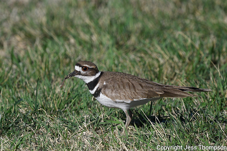 Killdeer with worm, San Angelo State Park, Texas