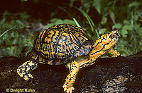 1R07-001z  Eastern Box Turtle - Terrapene carolina