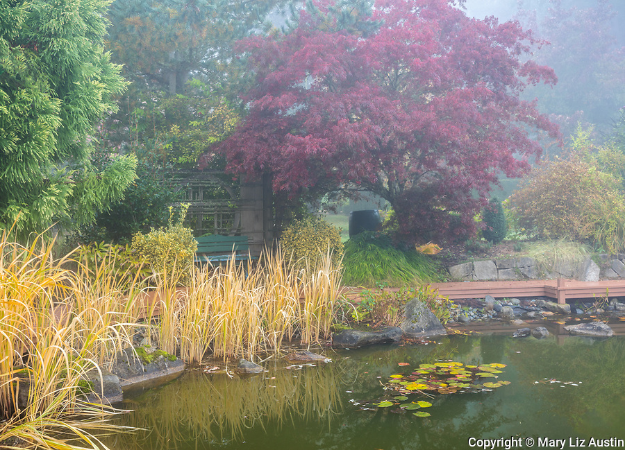 Vashon Island, WA: Pond with surrounding deck and fall maple tree in fog; Froggsong garden