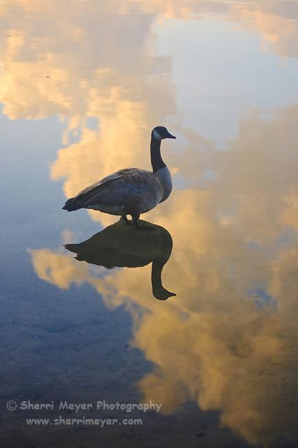 Goose Silhouette at Utica Reservoir, Alpine County, California.