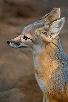 630700004 a captive wildlife rescue kit fox vulpes marcotis in its enclosure at a widlife rescue facility