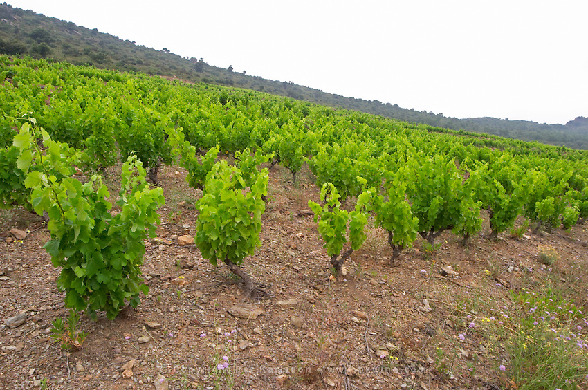 Vines. Grenache. Domaine Boucabeille, Corneilla la Riviere, Roussillon, France