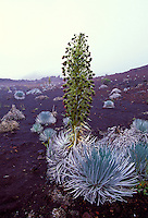 Close up of silversword plant, Haleakala National Park, Maui