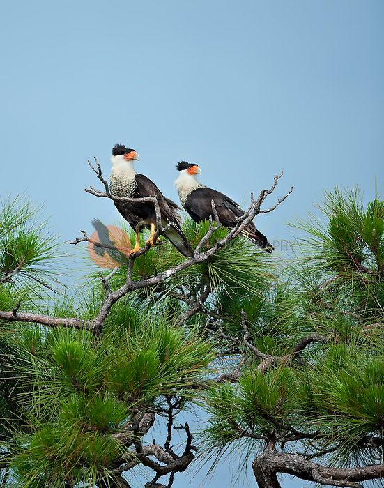 Pair of adult Crested Caracara perched in a pine tree in Florida