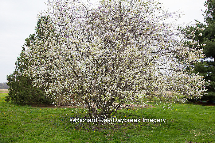 63808-03009 Shadbush Serviceberry (Amelanchier canadensis) blooming, Marion Co, IL