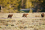 Three grizzly bear cubs cross the road.