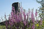Purple loosestrife, spiked, Lythrum salicaria