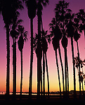Silhouetted palm trees along shoreline at sunset Santa Barbara California USA