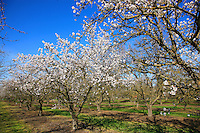 A flowering almond orchard.