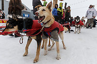 A Jason Mackey dog is ready to keep going in the finish chute after Jason came across the Nome finish line on Thursday March 13 during the 2014 Iditarod Sled Dog Race.<br /> <br /> PHOTO (c) BY JEFF SCHULTZ/IditarodPhotos.com -- REPRODUCTION PROHIBITED WITHOUT PERMISSION