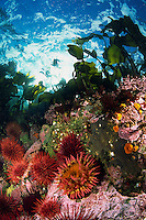 Anemones, Urchins and Kelp cover the rich shallows of Browning Pass in Queen Charlotte Strait, British Columbia, Canada.