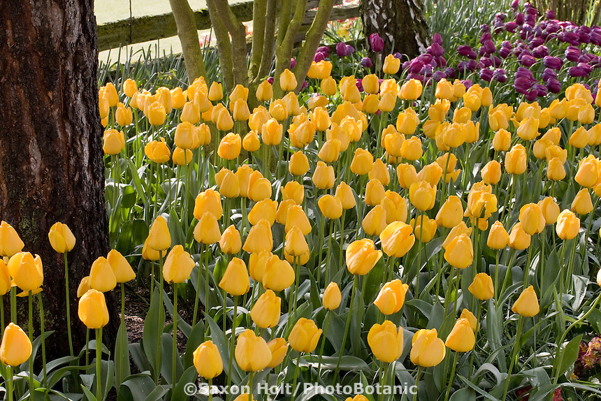 Yellow flower 'Golden Apeldoorn' tulips in garden at Tulip Festival, Skagit Valley Washington