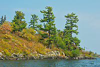 White pines on Island on Lake of the Woods<br />