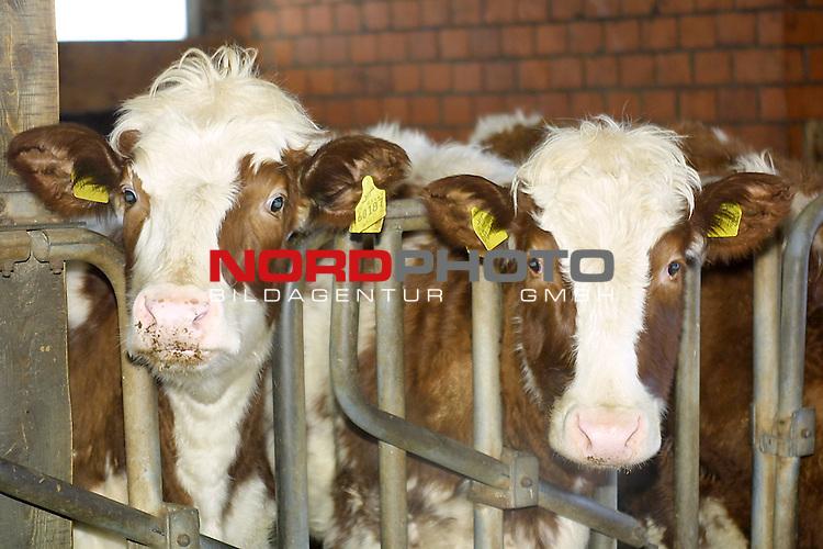 Bokern, DEU, 28.12.00<br /> <br /> Die Angst der BSE Krankheit bei Rindern geht immer weiter.<br /> Nach der Schlachtung muessen sie nun einem BSE Schnelltest unterzogen werden. <br /> <br /> [Foto ł nordphoto -  Foto ist honorarpflichtig!  7 % MwSt. Belegexemplar erforderlich - (Dig.Fotografie)<br /> Georg-Reinke-Strasse 1; 49377 Vechta<br /> Bankverbindung: Kreissparkasse Diepholz; Konto Nr. 7419 / BLZ 25651325 Telefon: 04441-89400 / Fax: 04441-894022<br />  http://www.nordphoto.de / info @ nordphoto.de]