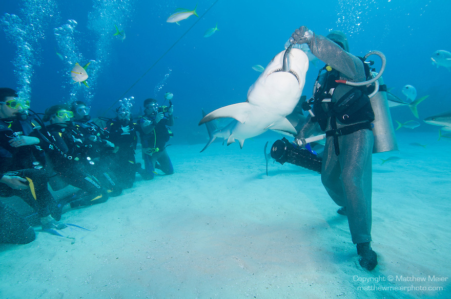 Grand Bahama Island, The Bahamas; Cristina Zenato, in a chain mail shark suit, hand feeding Caribbean Reef Sharks as part of a shark feed dive for tourists
