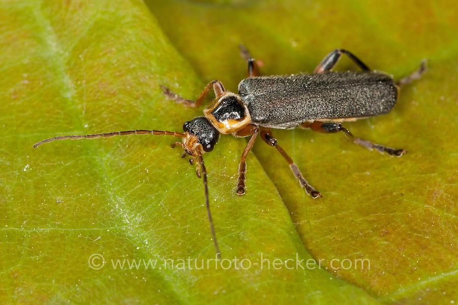 Graugelber Weichkäfer, Cantharis nigricans, Weichkäfer, Cantharidae, soldier beetle, soldier beetles, cantharid
