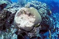 Damaged Brain Coral, Florida Keys National Marine Sanctuary