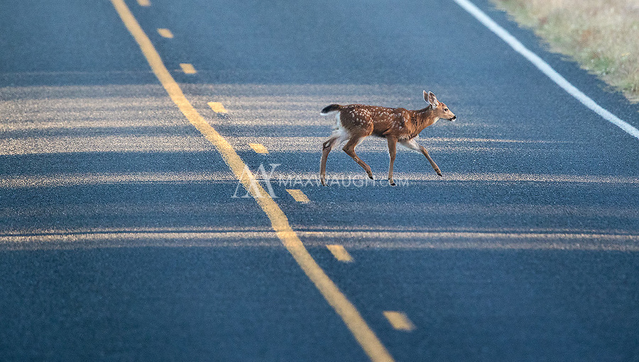A fawn follows its mother across a road on San Juan Island.